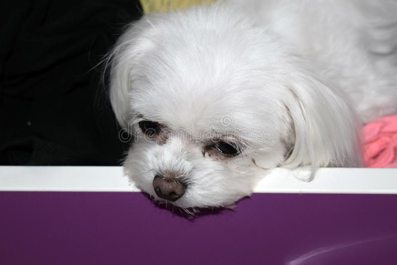 Um cão branco pequeno furado em uma gaveta, cachorrinho maltês da xícara de chá foto de stock