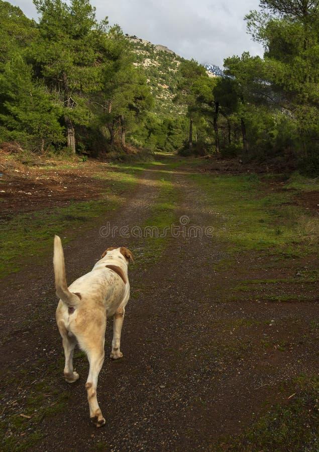 Um cão branco-vermelho grande anda em um dia de inverno ensolarado através das madeiras e das montanhas na ilha grega de Evia, Gr fotografia de stock royalty free