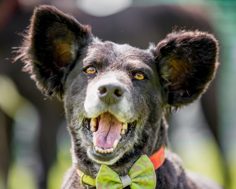 Um cão brasileiro do salvamento com orelhas enormes e o retrato aberto da cara da boca que olham a câmera fotos de stock