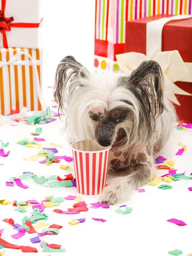 Um cão com crista chinês engraçado encontra-se perto do presente e bebe-se algo de um copo de papel Isolado no fundo branco foto de stock royalty free