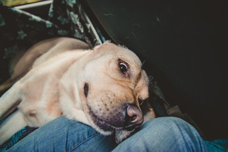 Um cão da raça de Labrador está encontrando-se imagens de stock royalty free