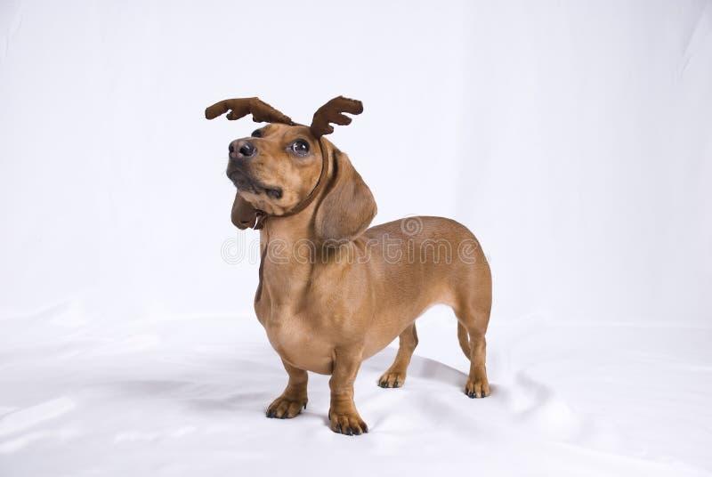 Um cão da raça do Dachshund imagens de stock royalty free