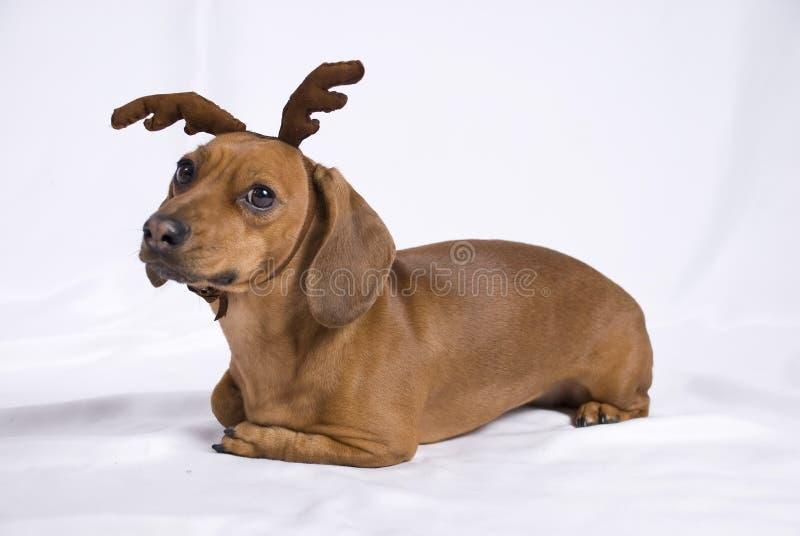 Um cão da raça do Dachshund fotos de stock royalty free