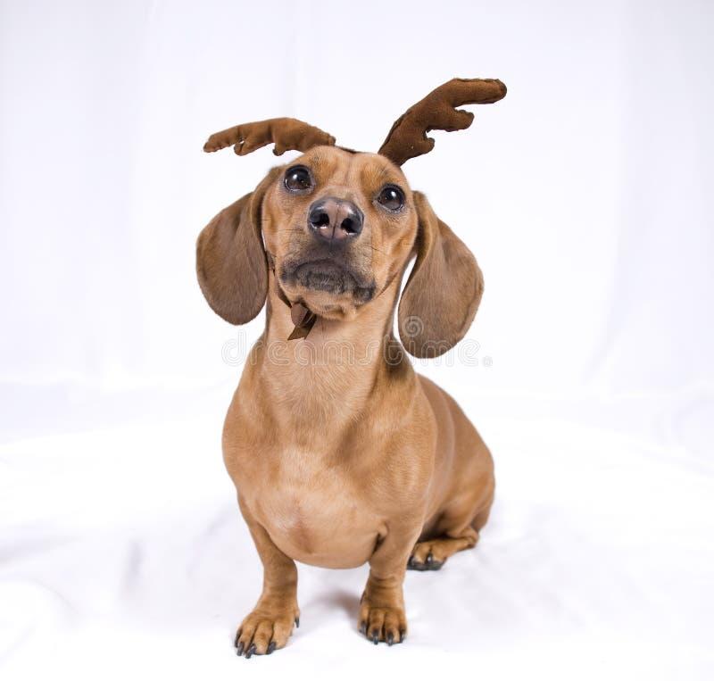 Um cão da raça do Dachshund imagem de stock