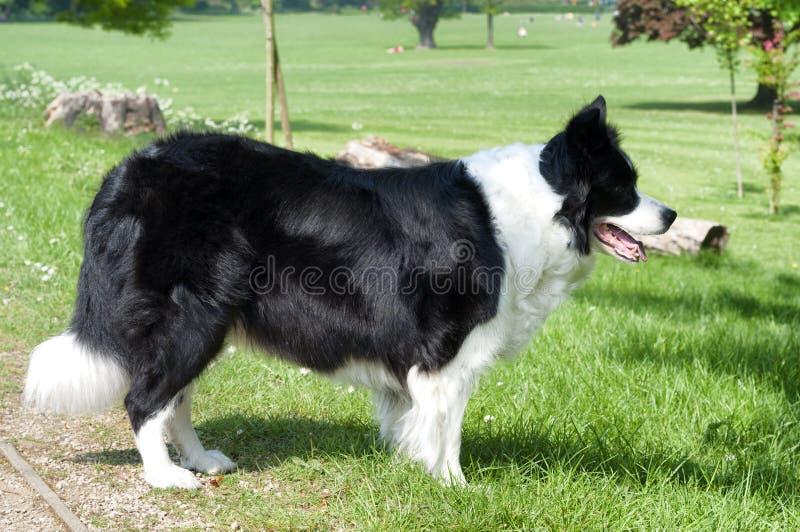Um cão de border collie em um campo verde imagem de stock