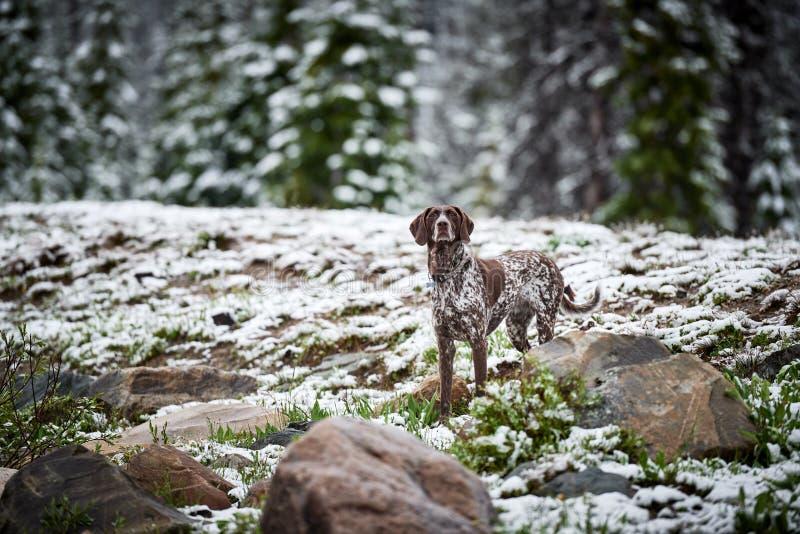 Um cão de caça na neve imagens de stock