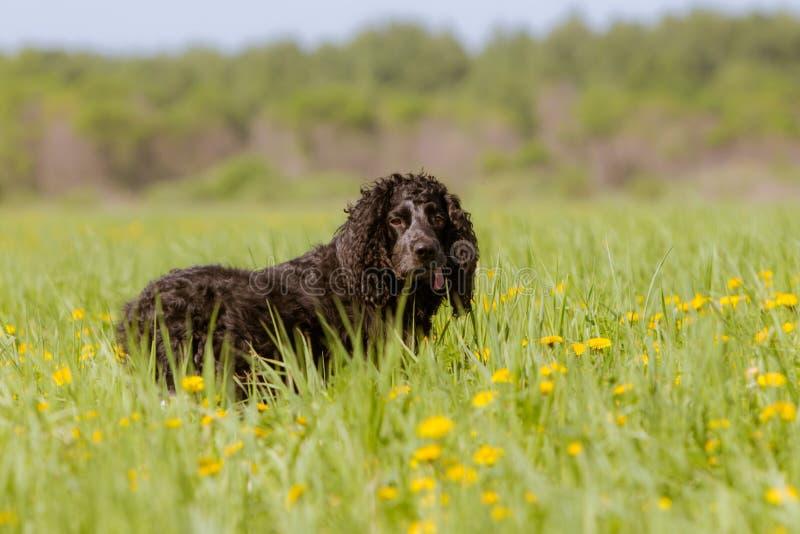 Um cão de caça preto em um campo das flores fotografia de stock royalty free