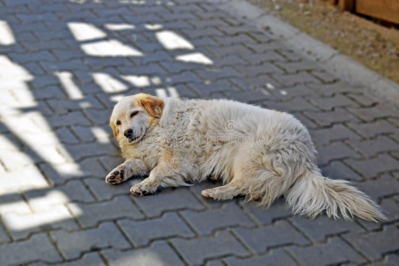Um cão de cabelos compridos dourado que coloca na estrada foto de stock royalty free