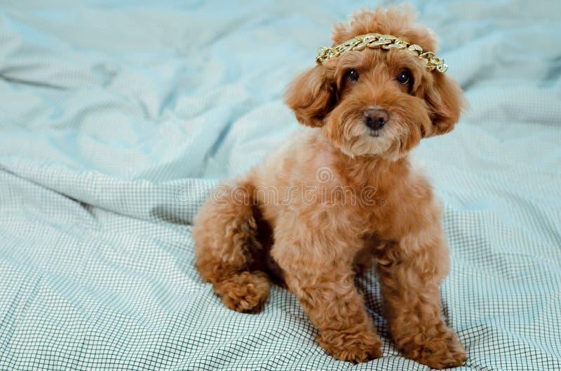 Um cão de caniche marrom novo adorável com a colar dourada que põe sobre sua cabeça e que senta-se na cama desarrumado foto de stock royalty free