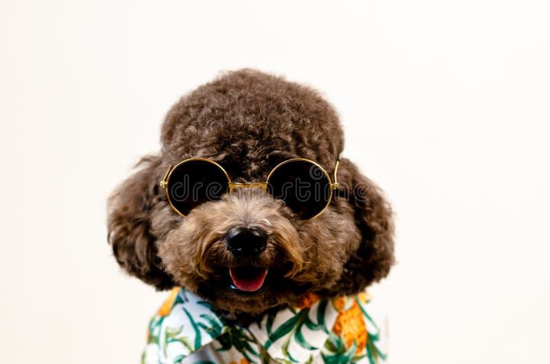 Um cão de caniche preto de sorriso adorável do brinquedo veste óculos de sol e vestido de Havaí para a temporada de verão no fund imagens de stock
