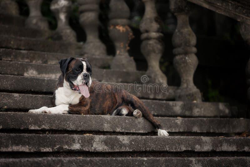 Um cão de encaixotamento que encontra-se imponentemente nas escadas fotos de stock