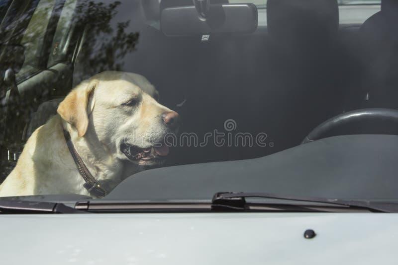 Um cão de Labrador do amarelo senta-se em um carro quente em Finlandia fotografia de stock