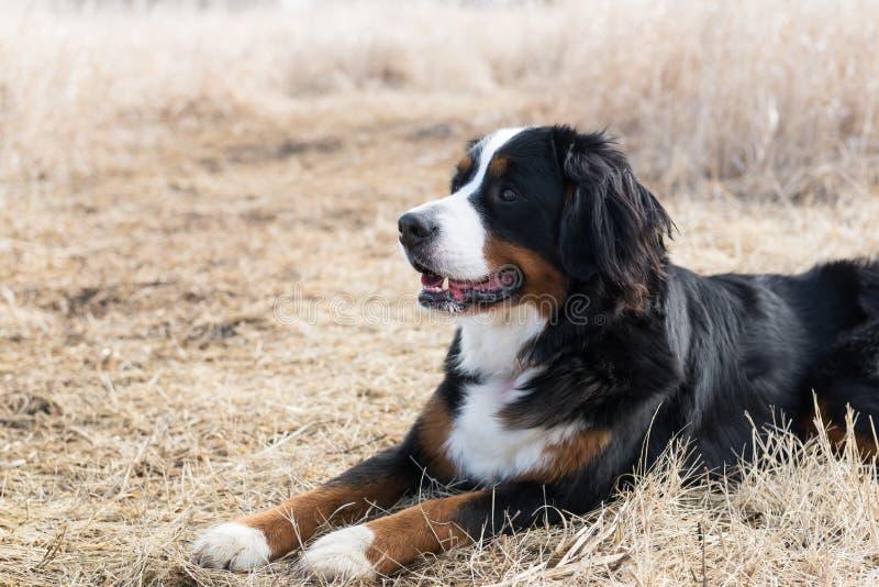 Um cão de montanha de Bernese no campo fotografia de stock