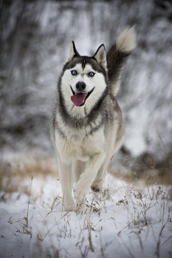 Um cão de puxar trenós siberian que corre à câmera foto de stock royalty free