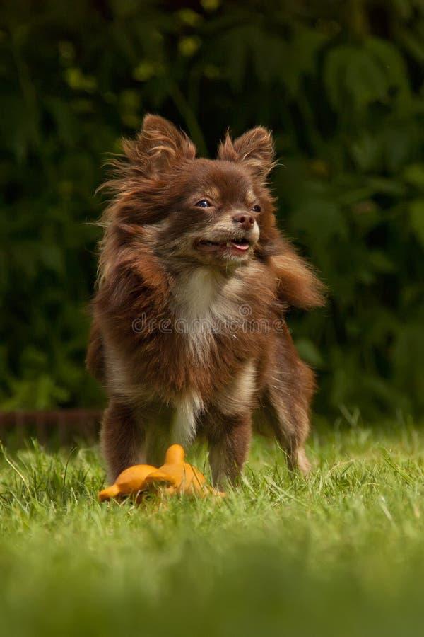 Um cão de raça pura pequeno está em uma grama verde fotos de stock