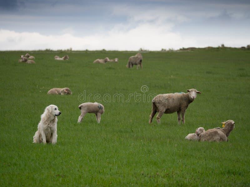 Um cão de Sheepherding que olha seu rebanho foto de stock royalty free