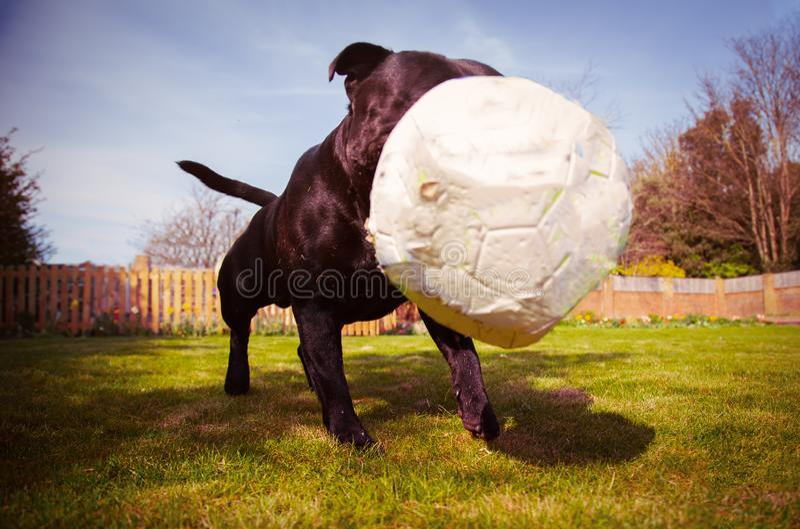 Um cão de Staffordshire bull terrier que joga com uma bola de futebol que seja um bocado desinflado após a mastigação Tomado de u foto de stock royalty free