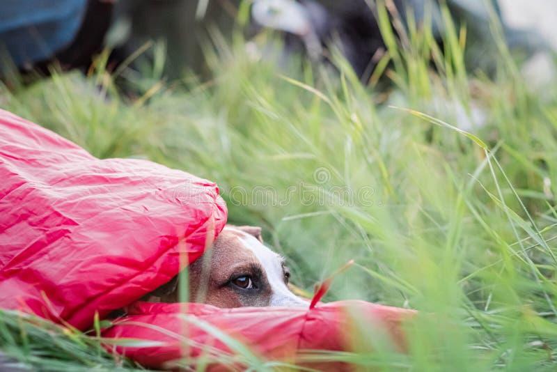 Um cão descansa em um saco-cama na grama verde alta em um local de acampamento fotos de stock