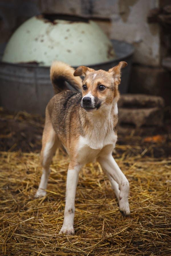 Um cão disperso que anda ao longo da rua na vila Outdor desabrigado do cão imagem de stock royalty free