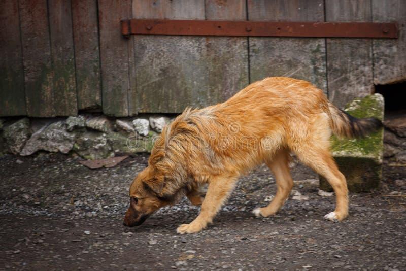 Um cão disperso que anda ao longo da rua na vila Outdor desabrigado do cão imagens de stock royalty free