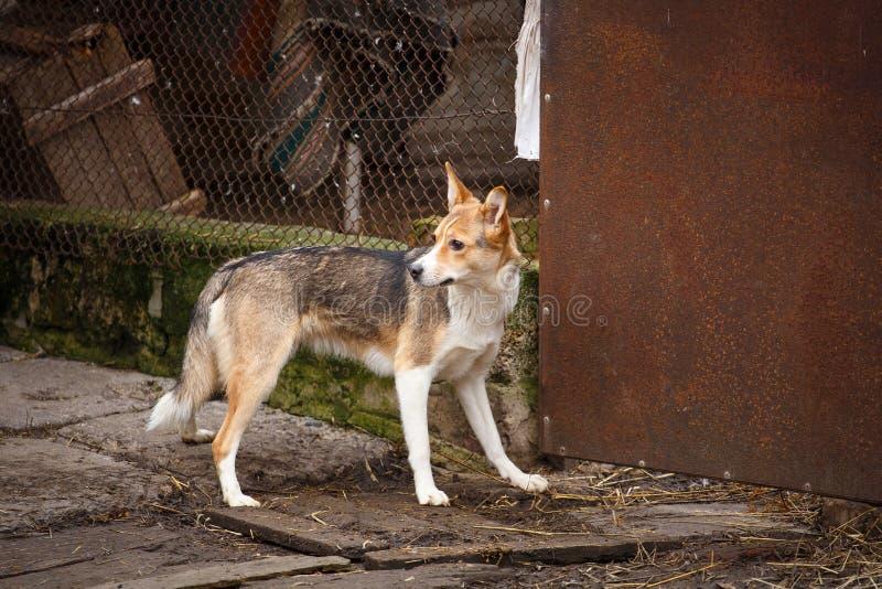 Um cão disperso que anda ao longo da rua na vila Outdor desabrigado do cão imagens de stock