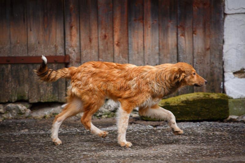 Um cão disperso que anda ao longo da rua na vila Outdor desabrigado do cão fotografia de stock royalty free