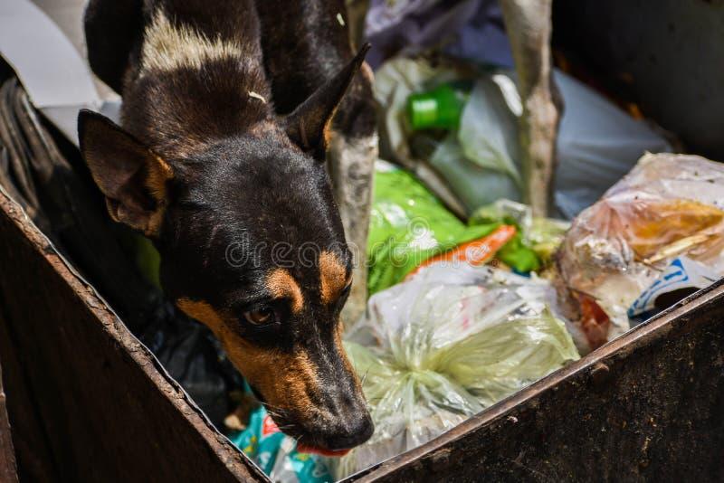 Um cão disperso que procura o alimento do lixo foto de stock royalty free