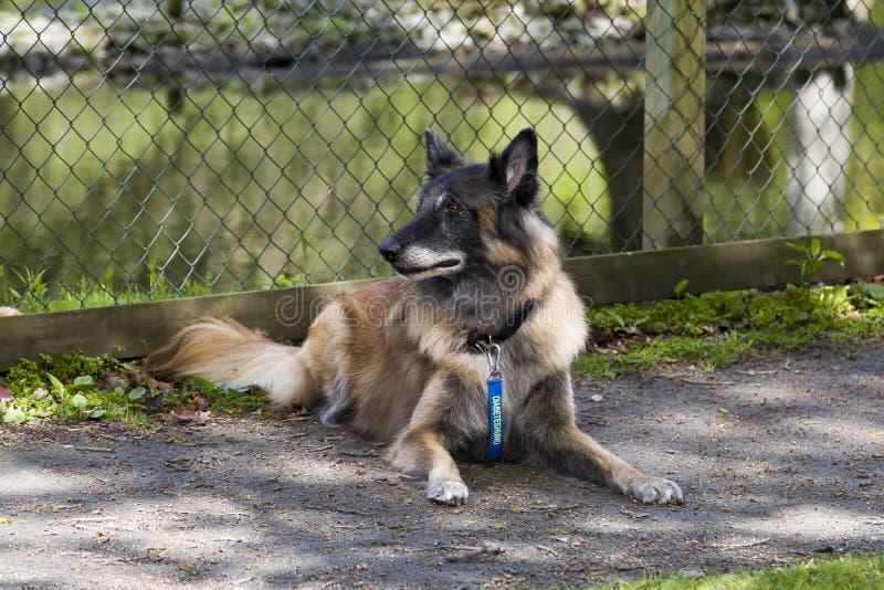 Um cão do diabetes de Tervuren fotos de stock royalty free