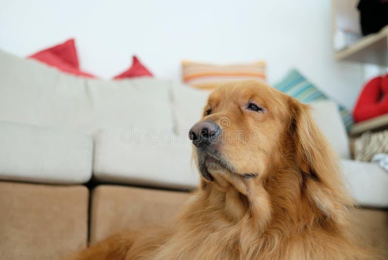 Um cão do golden retriever que encontra-se para baixo no assoalho fotos de stock royalty free
