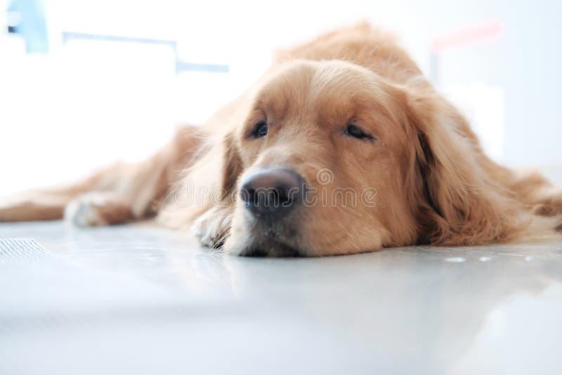 Um cão do golden retriever que encontra-se para baixo no assoalho fotografia de stock