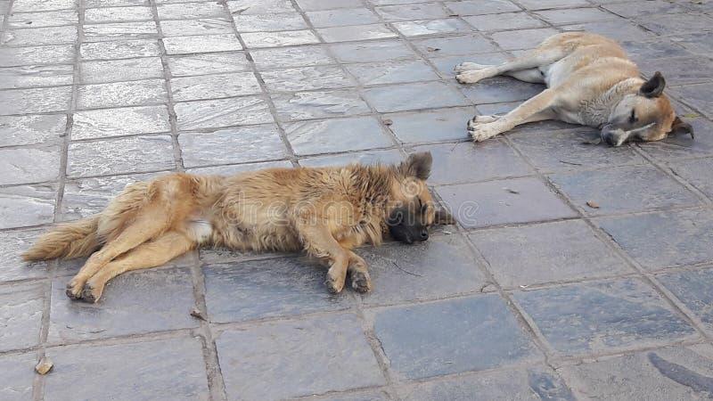 Um cão do salvamento das ruas de Cuzco, Peru imagens de stock