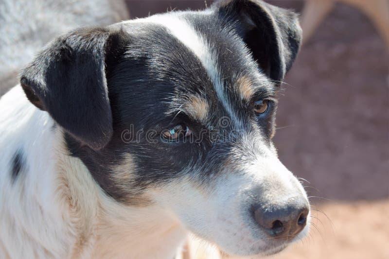Um cão do salvamento das ruas de Cuzco, Peru foto de stock