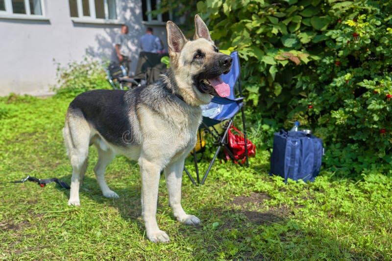 Um cão do serviço da raça europeia do leste do pastor olha a câmera fotos de stock royalty free