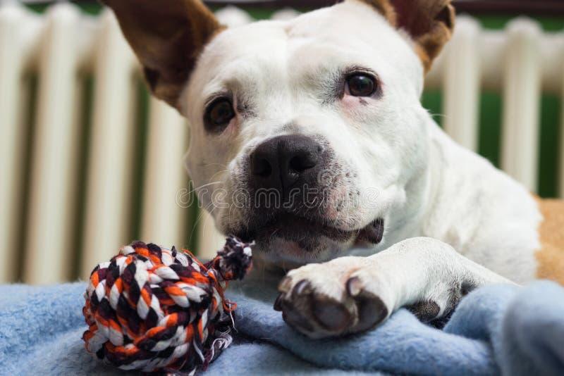 Um cão doce com seu brinquedo favorito imagens de stock