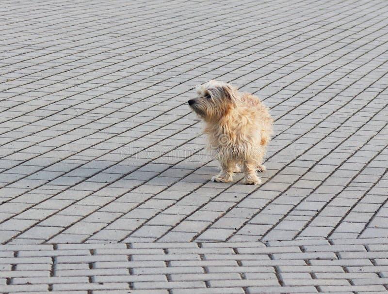 Um cão doméstico simples olha atentamente em uma distância, estando em um pavimento de pedra Animais de estimação bonitos e engra fotografia de stock royalty free