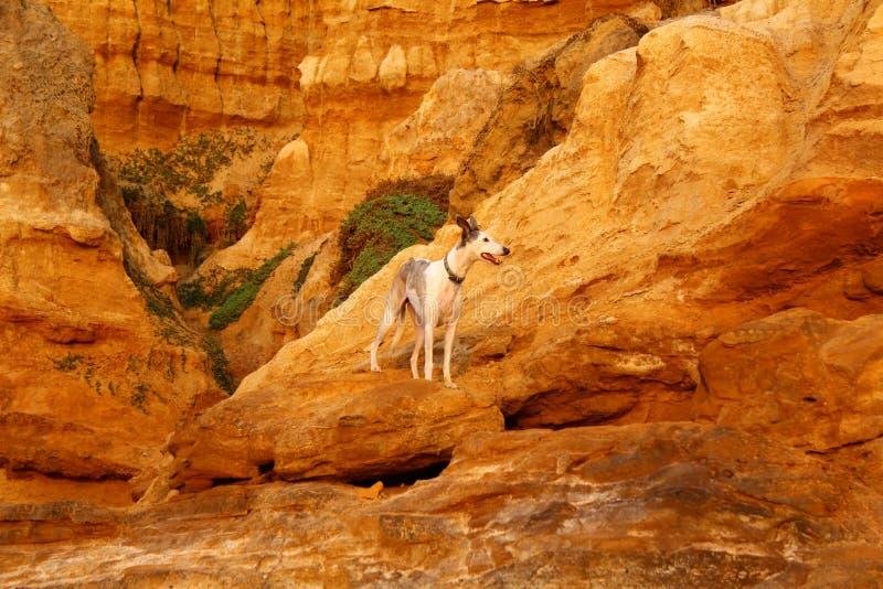 Um cão entre as formações Geological estranhas devido à corrosão no blefe vermelho em Black Rock, Melbourne, Victoria, Austrália