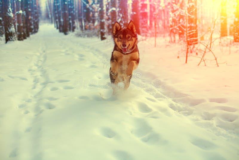 Um cão está correndo na floresta do inverno imagens de stock royalty free