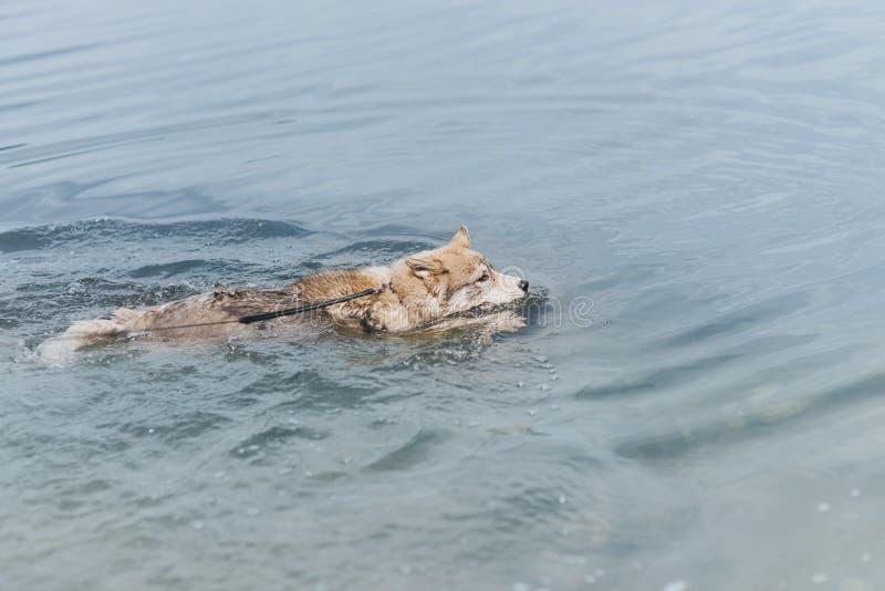 Um cão está nadando em um lago ou em um mar C?o de puxar tren?s Siberian Conceito quente do ver?o imagens de stock royalty free