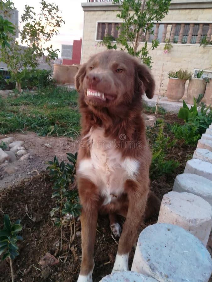 Um cão está rindo fotografia de stock