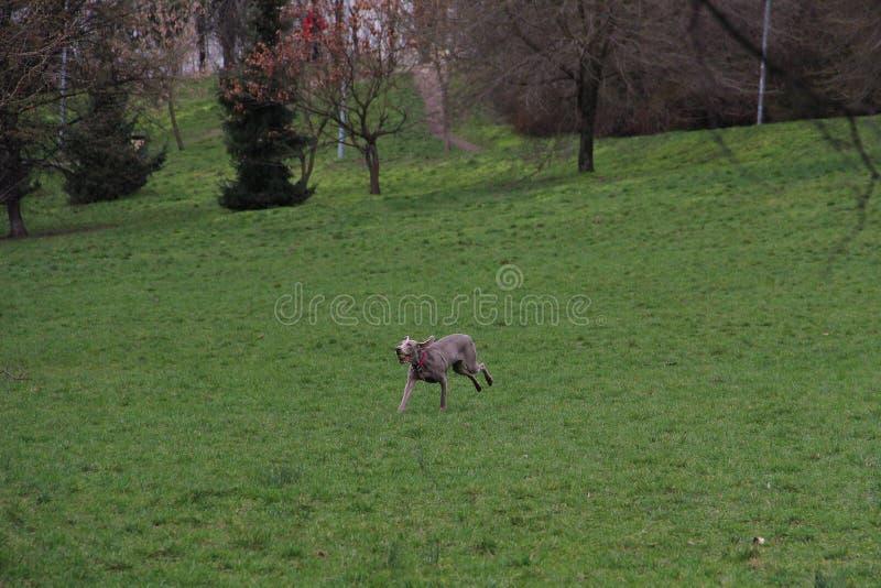 Um cão feliz grande corre para trás com bola de tênis fotos de stock royalty free