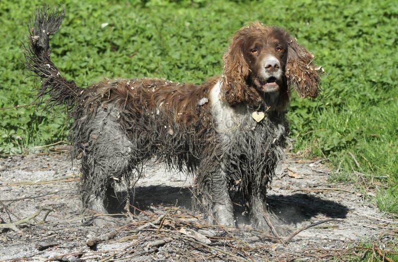 Um cão impertinente do spaniel de Springer inglês que nadasse em um pântano e para terminar então o olhar rolou em uma fogueira v fotos de stock