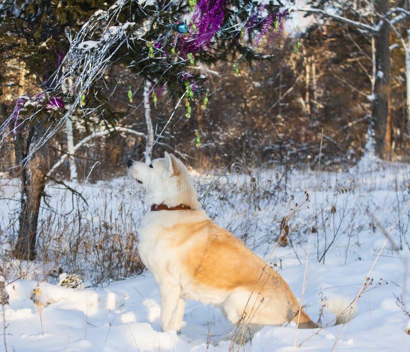 Um cão japonês obediente bonito de Akita Inu senta-se perto de uma árvore de Natal decorada com brinquedos e ouropel na floresta  fotos de stock royalty free
