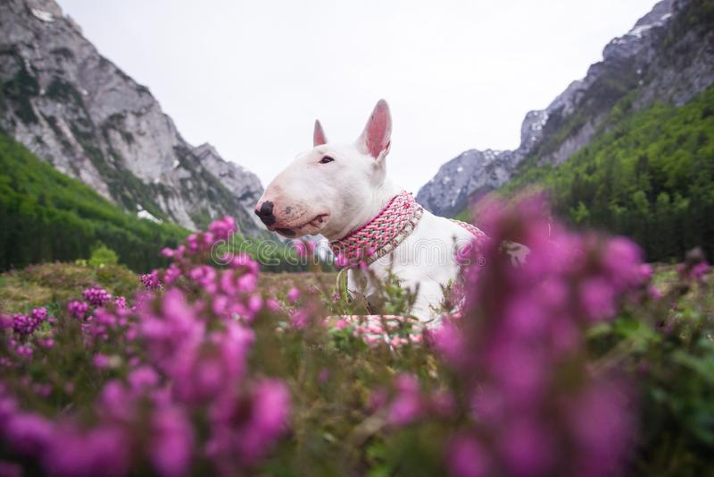 Um cão nas montanhas Bull terrier com montanhas e picos, natureza e curso com um cão Feriado no parque nacional fotos de stock