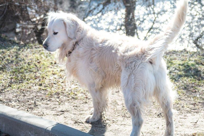 Um cão novo de caminhadas do golden retriever da raça em um dia ensolarado em um Sandy Beach fotos de stock