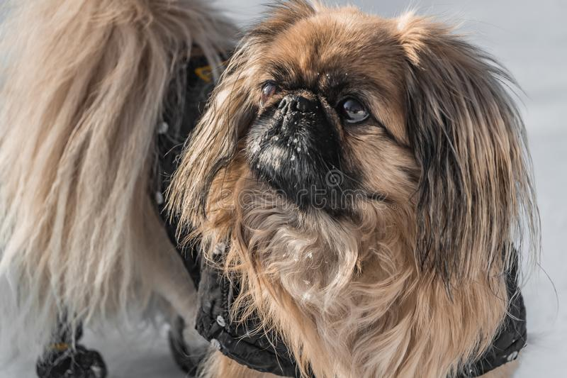 Um cão pequeno bonito do pequinês no fato-macaco preto e com neve branca no focinho está andando em um parque no inverno imagens de stock