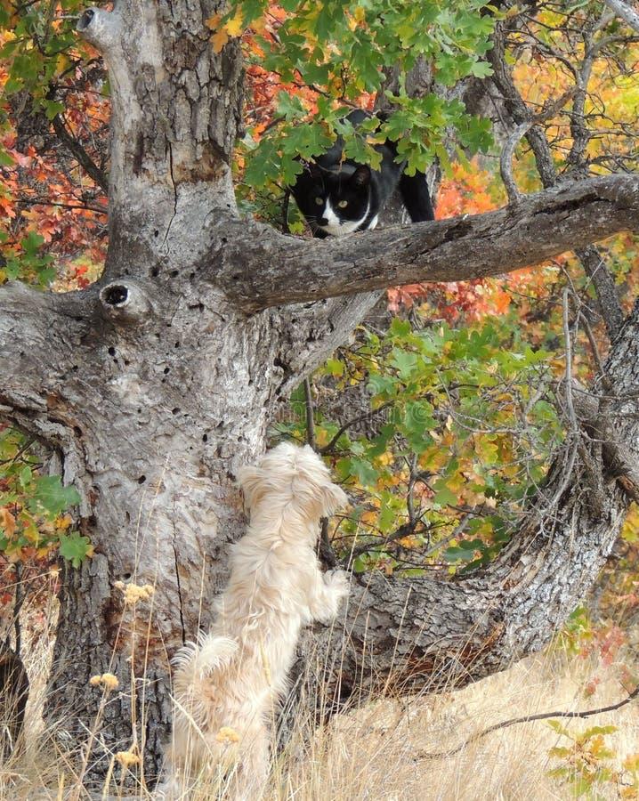 Um cão pequeno da mistura do terrier persegue um gato preto e branco acima de uma árvore fotos de stock royalty free