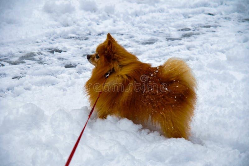 Um cão pequeno da raça do spitz com uma pele vermelha grossa bonita foto de stock