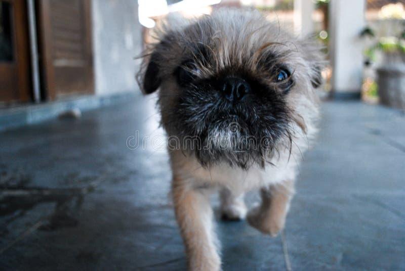 Um cão pequeno, feio e engraçado que anda a você fotos de stock