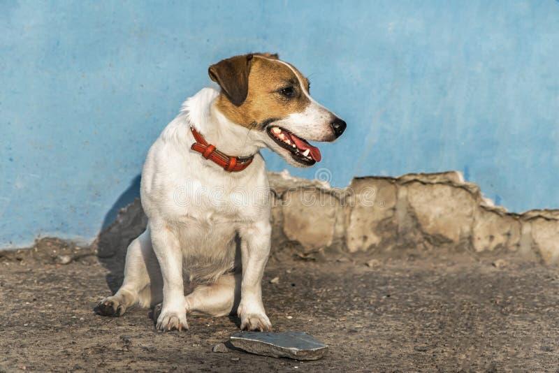 Um cão pequeno Jack Russell Terrier que senta-se ao lado de uma casa abandonada Fundo arruinado azul da parede imagem de stock