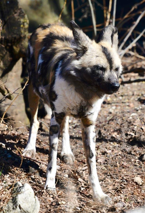 Um cão pintado africano 1 imagens de stock royalty free
